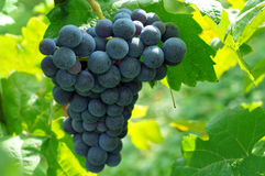 winogrono winnica Obraz Stock
