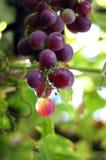 winogrono winograd zdjęcie stock