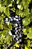 winogrono winograd Zdjęcia Stock