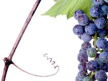 winogrono winograd Fotografia Stock