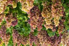 winogrono winograd Obraz Royalty Free