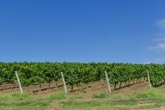 winogrono wiosłuje winogrady młodych Zdjęcia Stock