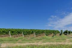 winogrono wiosłuje winogrady młodych Obraz Royalty Free