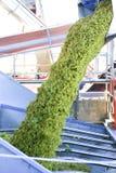 winogrono zbierał Zdjęcia Stock