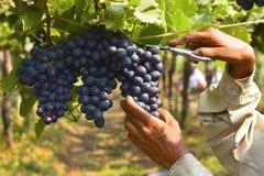 Winogrono zbiera blisko Sangli, maharashtra Fotografia Royalty Free