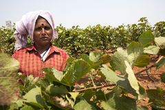Winogrono zbiera w winnicy dla robić winu Fotografia Stock