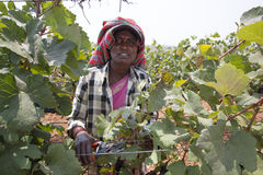 Winogrono zbiera w winnicy dla robić winu Zdjęcie Royalty Free