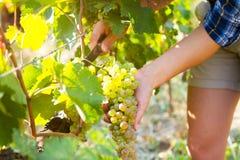 Winogrono zbiera w winnicy w Kakheti regionie, Gruzja Kobieta Zdjęcie Stock