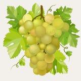 winogrono zieleń Obraz Royalty Free
