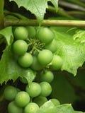 winorośl obrazy royalty free