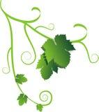 winorośl ilustracja wektor
