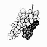 Winorośl odizolowywająca na białym tle ilustracja wektor