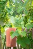 Winorośl przy ogrodzeniem obraz stock