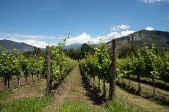 Winorośl rzędy - Włochy, Franciacorta zdjęcia royalty free