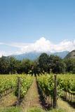 Winorośl rzędy - Włochy, Franciacorta zdjęcia stock