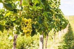 Winorośl w ogródzie zdjęcie stock