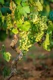 Winorośl w winnicy obrazy stock