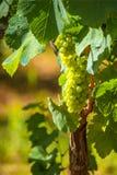 Winorośl w winnicy fotografia stock