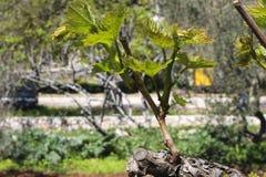 Winorośl w wiośnie Zdjęcia Royalty Free