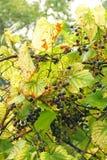 Winorośl z dojrzałymi owoc obrazy royalty free
