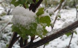 Winorośl zaczyna z pączkową przerwą po lodowatego deszczu Zdjęcia Stock