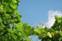 Winorośle w południowym Włochy Zdjęcia Stock