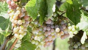 Winorośle w winnicy zdjęcie wideo