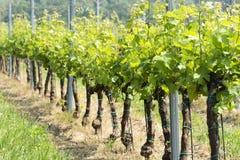 Winorośle w wiośnie, Węgry Fotografia Stock