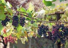 winorośli Fotografia Royalty Free