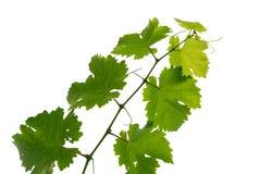 winorośli z winogron obrazy stock