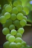 winorośli zieleń Obraz Royalty Free