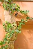 winorośl Zdjęcie Royalty Free