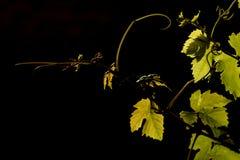 winorośl Obraz Royalty Free