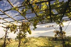 winorośl Zdjęcia Stock