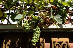 Winorośl na fechtunku Zdjęcie Stock