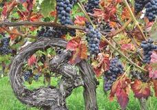 Winorośl, niemiecka wino trasa, Niemcy Zdjęcia Royalty Free
