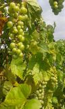 Winorośl - szlachetny winograd (Vitis - Vinifera) Zdjęcia Stock