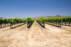 Winorośle w Kalifornia Fotografia Stock