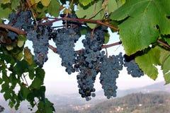 winorośli z winogron Zdjęcia Stock