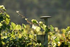 winorośli z winogron Zdjęcia Royalty Free