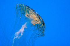 Winsome Jellyfish Stock Images