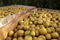 Winsor apples Royalty Free Stock Images