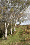Winswept trees in the county Donegal countryside Royalty Free Stock Photo