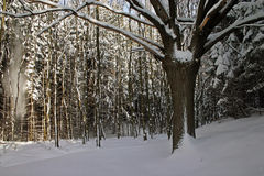 Winter. Forest, trees and snow royalty free stock photos