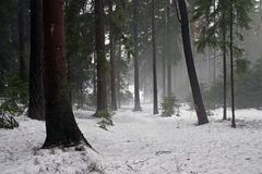 Winter. Forest in winter, trees and snow stock images