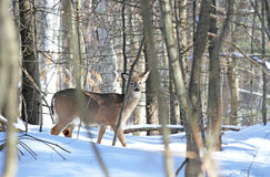 Winter. Female deer in forest during winter Stock Images