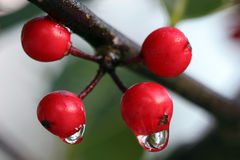 Winter. Macro of Holly berries with frozen water droplets Royalty Free Stock Photography