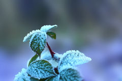 Winter. Raspberry leaves covered with frost Stock Photography