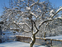 Winter. Snowy tree in my garden Royalty Free Stock Image