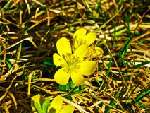 Winter Acinite Flower. A yellow Winter Acinite Flower in spring Royalty Free Stock Photos